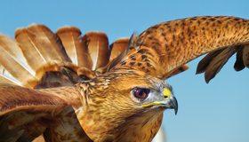 Картинка: Сокол, птица, голова, перья, полёт, хищная, небо