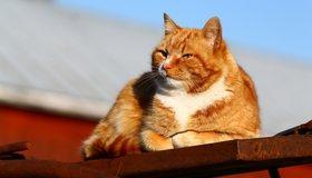 Картинка: Кот, рыжий, светлый, солнечный, день, сидит, крыша