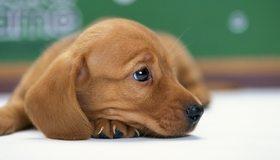 Картинка: Щенок, такса, собака, морда, нос, глаз, ухо, шерсть, смотрит, грусть, настроение