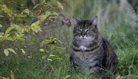 Картинка: Кот, сидит, толстый, взгляд, трава, ветки, листья