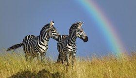 Картинка: Зебра, полоски, непарнокопытные, трава, небо, радуга