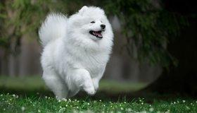 Картинка: Самоедская собака, самоед, самоедская лайка, самоедский шпиц, собака, поле, трава, белая, пушистая, бежит