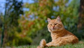 Картинка: Кот, рыжий, морда, лежит, трава, солнце, отдых