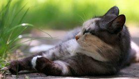 Картинка: Кошка, шерсть, лежит, отдых, профиль, морда, травинки, лето, тень