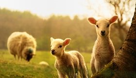 Картинка: Ягнята, овца, любопытсво, дерево, поле