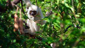 Картинка: Лемур, белый, ветки, зелень, листья, природа