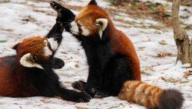 Картинка: Малая панда, пара, играют, зима, лапы, хвост