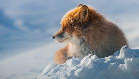 Картинка: Лиса, сидит, зима, снег