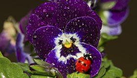 Картинка: Цветок, анютины глазки, божья коровка, насекомое, сидит, листья, капли, роса