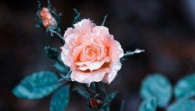 Картинка: Роза, розовая, цветок, капли, роса, бутоны, листья, размытость