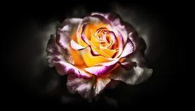 Картинка: Цветок, роза, лепестки