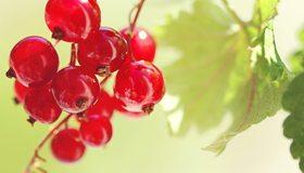 Картинка: Красная смородина, плоды, спелые, ягоды, листья