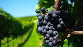 Картинка: Виноград, лоза, гроздь, плоды, виноградник, ветки, зелень, размытость