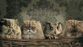 Картинка: Кошки, сова, маскировка, взгляд, глаза