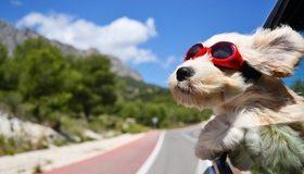 Картинка: Собака, нос, шерсть, очки, уши, дорога, авто, небо, облака, ветер, едет, скорость
