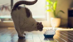 Картинка: Кот, поза, миска, всплеск, брызги, молоко, момент
