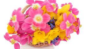 Картинка: Цветы, букет, нарциссы, тюльпаны, корзинка, праздник, белый фон, весна