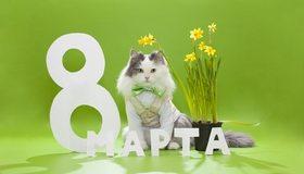 Картинка: Праздник, поздравление, 8 марта, весна, кот, пушистый, бантик, букет, цветы, жёлтые нарциссы, зелёный фон