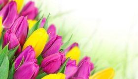 Картинка: Тюльпаны, цветы, листья, жёлтый, розовый, праздник, весна, белый фон
