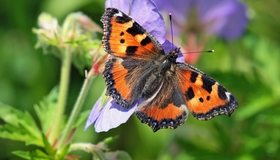 Картинка: Бабочка, крапивница, ярко, макро, лепестки