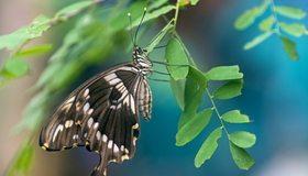 Картинка: Бабочка, крылья, усики, ветка, листья