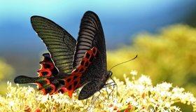 Картинка: Бабочка, махаон парусник, крылья, цветы, нектар