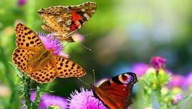 Картинка: Бабочки, крылья, усики, чертополох, цветки, растение