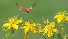 Картинка: Божья коровка, крылья, полёт, зверобой, жёлтые цветки