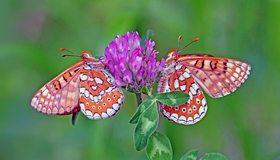 Картинка: Бабочки, крылья, клевер, сидят