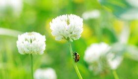 Картинка: Клевер, цветок, белый, стебель, божья коровка, ползёт, зелёный фон, макро