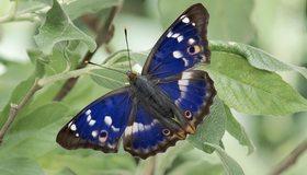 Картинка: Бабочка, крылья, синие, окрас, листья