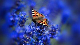 Картинка: Бабочка, крапивница, сидит, цветок, лаванда, в фокусе