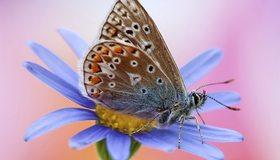 Картинка: Крылья, окрас, бабочка, цветок, лепестки, макро