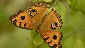Картинка: Бабочка, крылья, окрас, листья