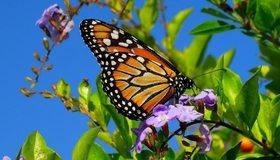 Картинка: Бабочка, крылья, окрас, сидит, цветок, листья, небо