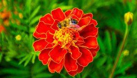 Картинка: Пчела, сидит, цветок, бархатцы, макро