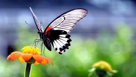 Картинка: Бабочка, крылья, нектар, пьёт, цветок, блики