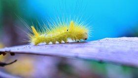 Картинка: Гусеница, жёлтая, мохнатая, ползёт