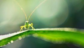 Картинка: Кузнечик, зелёный, сидит, лист, макро, блики