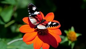 Картинка: Бабочка, крылья, цветок, оранжевый