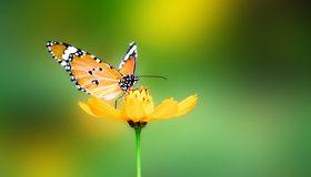 Картинка: Бабочка, крылья, цветок, лепесток, жёлтый, сидит