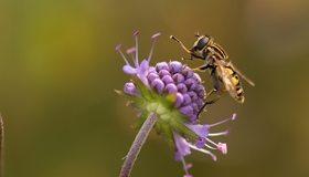 Картинка: Журчалка, муха, цветок, макро
