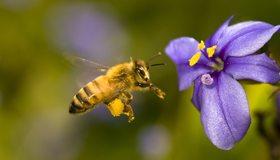 Картинка: Пчела, летит, цветок, тычинки