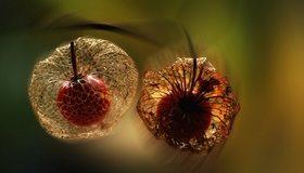 Картинка: Физалис, ягода, плод, прозрачный