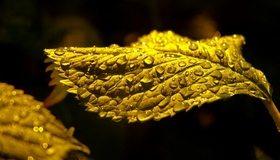 Картинка: Лист, жёлтый, капли, вода, тёмный фон