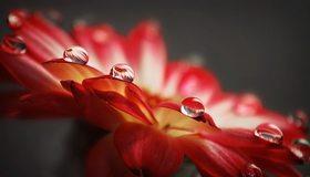 Картинка: Капли, вода, лепестки, цветок, макро, отражение