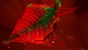 Картинка: Лист, красно-зелёный, прожилки, капли, отражение, красный фон