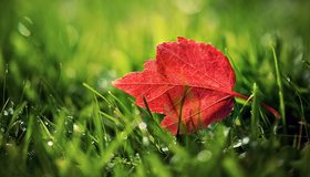 Картинка: Лист, красный, прожилки, трава, зелёный, роса, капли