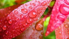 Картинка: Листья, жилки, капли, роса, вода, красные