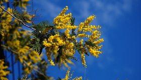 Картинка: Мимоза, жёлтая, веточка, март, синий фон